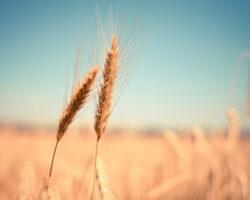 На Ставрополье хотят в 2 раза увеличить урожай зерновых